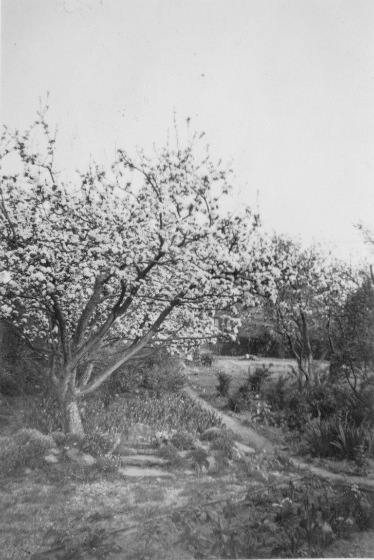 Garden at 58 Natal Road taken April 1943. It shows tulips in bud under trees in full blossom.